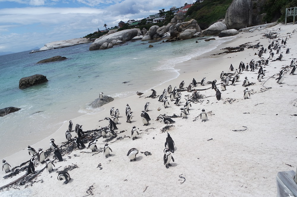 Penguin colony, Boulders Beach, South Africa
