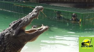 African Crocodile Cage Diving at Le Bonheur