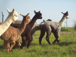 Alpaca Loom Barn Tour & Coffee Shop