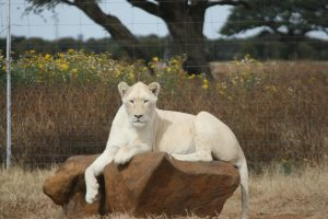 Big Cat White Lion Safari Cape Winelands Stellenbosch