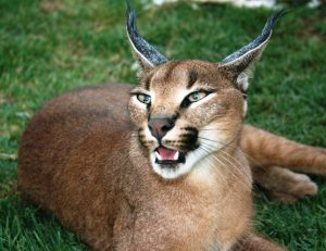 Caracal Stellenbosch Cape Winelands