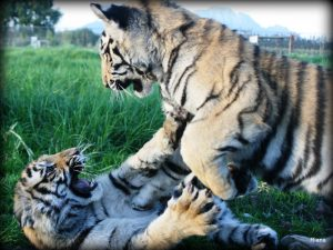 Big cats Tigers Vreedenheim Wine Tasting Cape Winelands Wildlife