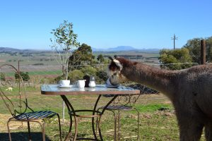 Table Mountain, Alpacas, Cape Winelands